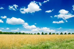 Wheat field. Blue sky, clouds Stock Photos