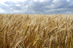 Wheat field. Under overcast sky Stock Image
