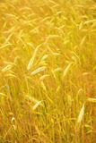 Wheat field. Picture of a Wheat field Royalty Free Stock Photography