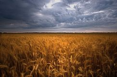Wheat Field Royalty Free Stock Photos