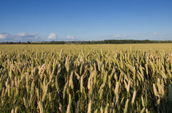 Wheat Field. Looking over a golden field of wheat royalty free stock photography
