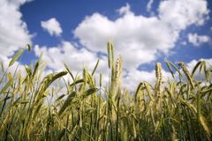 Wheat Field. Ears of wheat against a cloudy blue sky royalty free stock photography