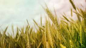 Wheat field. Beautiful wheat field, 16:9 wallpaper Stock Photos