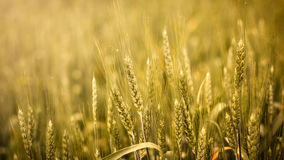 Wheat field. Beautiful wheat field, 16:9 wallpaper Royalty Free Stock Images