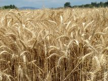 Wheat field. On a summer day Stock Photography
