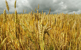 Wheat field. Stock Image
