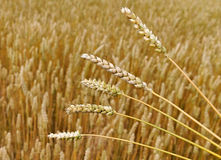 Wheat field. Stock Photography