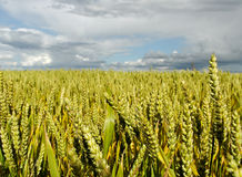 Wheat field. Royalty Free Stock Photos