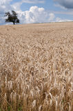 Wheat field. A wheat field by a summer day in France Stock Image