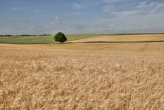Wheat Field. Landscape of wheat fields with one solitary tree Stock Photography
