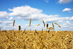 Wheat field. Hot summer day Royalty Free Stock Photo