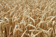 Wheat field #3 Royalty Free Stock Photography