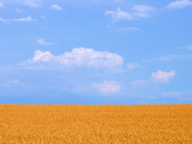 Wheat field. Before harvest in the summer Royalty Free Stock Photography