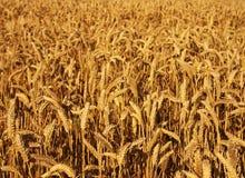 Wheat Field. Ripe wheat field at sunset stock photo