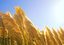 Wheat field. Picture of a Wheat field Royalty Free Stock Photos