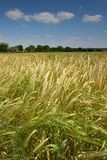 Wheat field. An English wheat field Stock Photo