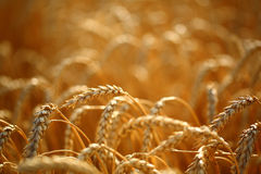 Free Wheat Field Stock Photography - 33407252