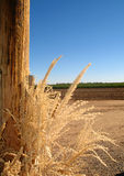Wheat by field. Country wheat with farm land in background on a clear day Stock Image