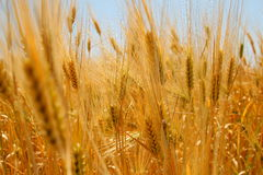 Wheat-field. A wheat field at hot summer Stock Photo