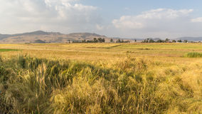 Free Wheat Field Royalty Free Stock Images - 48513559