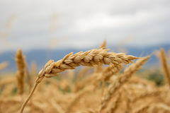 Free Wheat Field Stock Images - 494384