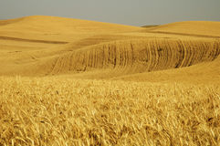 Wheat field 5. Ripe wheat ready for harvest in the Palouse area of southeastern Washington state Stock Photo