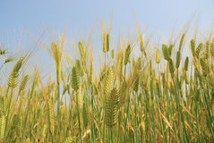 Wheat field. Gree wheat field with blue sky Royalty Free Stock Images