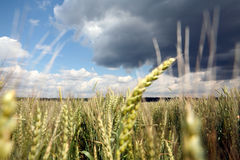 Wheat field. And sky before rain Stock Images