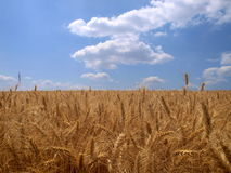 Wheat field. With blue sky stock photos