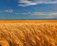 Free Wheat Field Royalty Free Stock Images - 564909