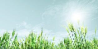 Wheat field. Beautiful summer landscape. Wheat field Stock Photography