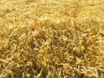Wheat field. A field full of golden wheat growing in the sun royalty free stock photography