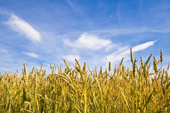Wheat field. Field of wheat under a blue sky in the swiss countryside Stock Images