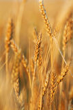 Wheat field. Gold wheat field on the cloud sky. Summer morning Royalty Free Stock Photography