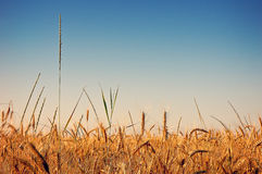 Wheat field. Field of golden wheat under blue sky Royalty Free Stock Images