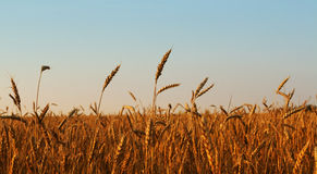 Wheat field. Gold wheat field on the blue sky Stock Image