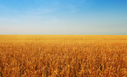 Wheat field. Gold wheat field on the blue sky Royalty Free Stock Photography