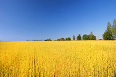 Wheat field. Against a blue sky Royalty Free Stock Images