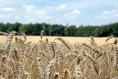 Wheat  on field Royalty Free Stock Photography