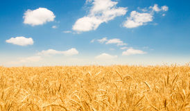 Wheat field. On the bright summer day Royalty Free Stock Photography