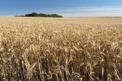Wheat field. A wheat field ready to harvest Royalty Free Stock Image
