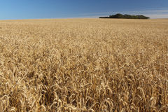 Wheat field. A wheat field ready to harvest Royalty Free Stock Photo