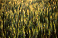 Wheat field. Close up of the fields of winter wheat Stock Photo