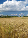 Wheat field. Under the blue cloudy sky Stock Photos