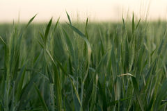 Wheat field. Wheat filed from low perspective during a sunset Royalty Free Stock Photography