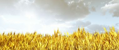 Wheat field. In the sunset Royalty Free Stock Photography