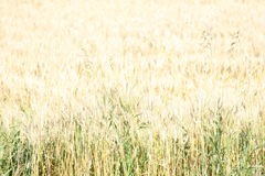 Wheat Field. Wheat in a wheat field Royalty Free Stock Images