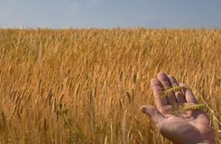 Wheat Field. With hand holding, ripe corn stock photo