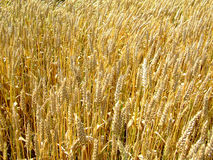 Wheat field. Gold wheat field on the sun royalty free stock photos