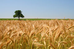 Wheat field. And lonely tree Royalty Free Stock Image